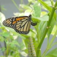 Loving Monarchs To Death