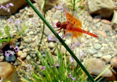 dragonflygarden