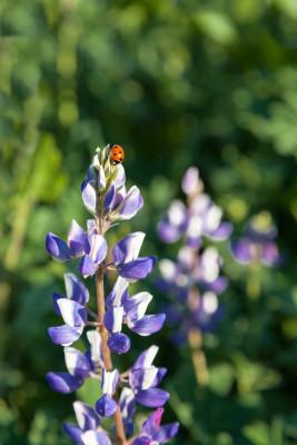 ladybugonlupinestoc