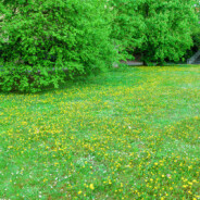 Pesticide Reform – Dealing with Dandelions and Rethinking Pretty