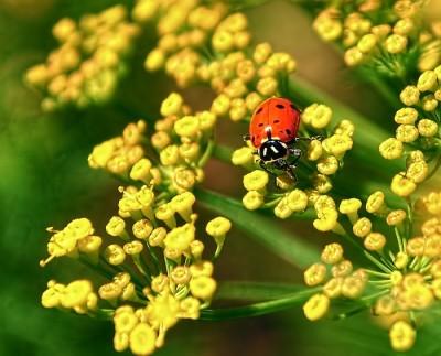 ladybugondill